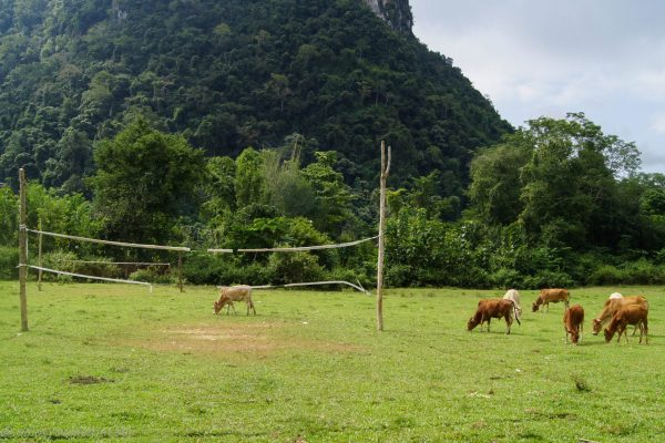 So rural cows cut the pitches
