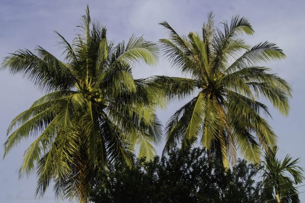 Coconut trees everywhere