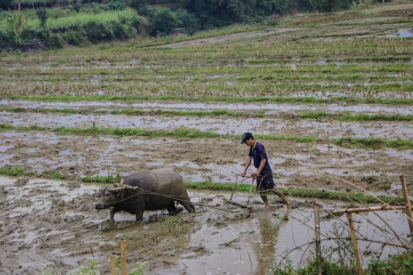 Ploughing a field with a water buffalo