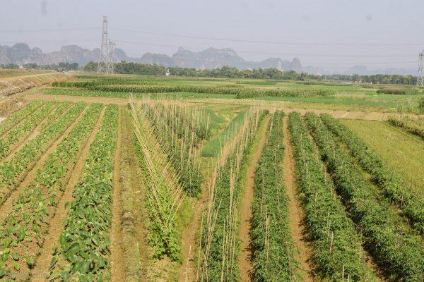 Vegetable fields instead of rice paddies