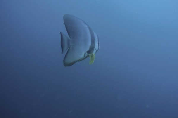 A Moonfish circling us during our ascent