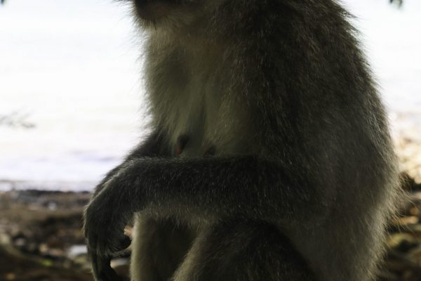 """The local """"cheeky"""" monkey"""