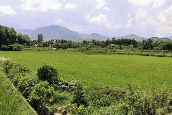 Lots of rice paddies with a strong green