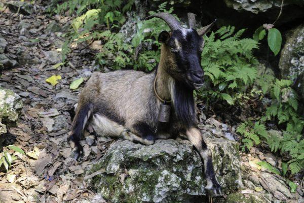 Goats enjoying the shade