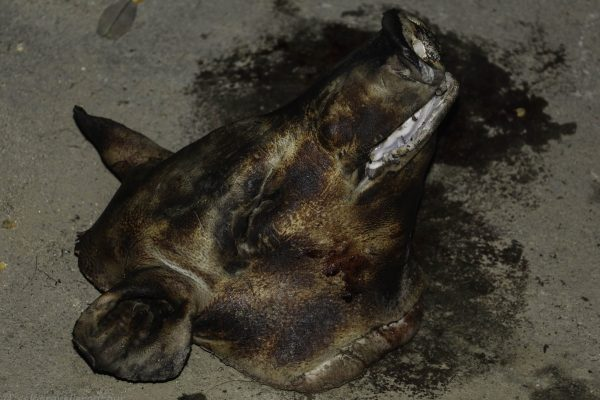 Barbequed pig head