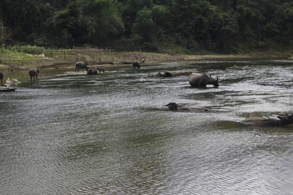 Water buffalos enjoying the cold water