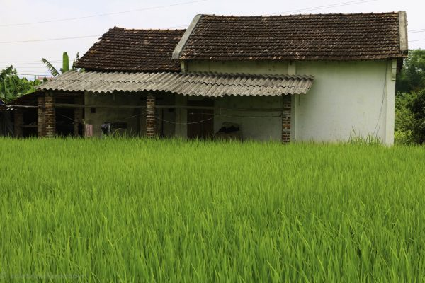 Beautiful contract between house and rice fields