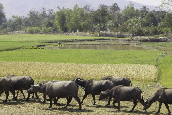 Rice paddies and water buffalo - so typcial Vietnam