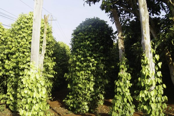Pepper plantation