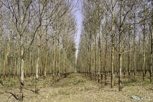 Rubber trees in line