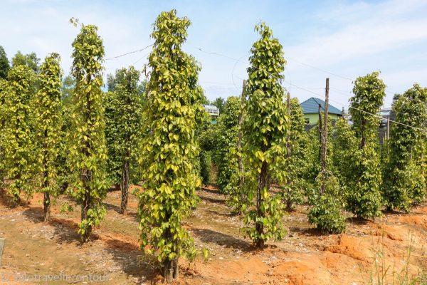 Pepper tree farm