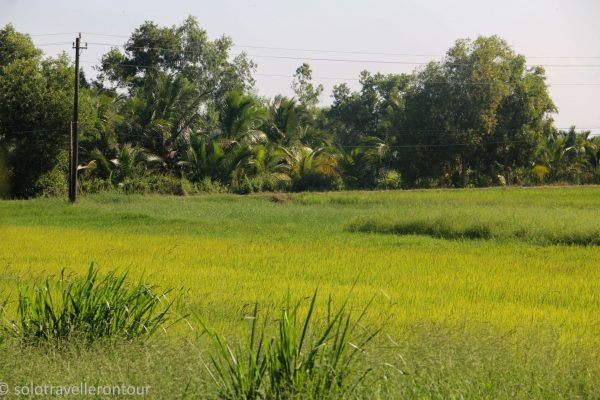 Golden rice fields everywhere
