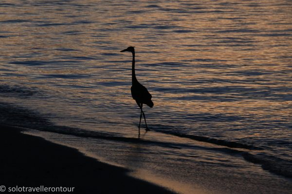 Even the Heron enjoys a walk on the beach
